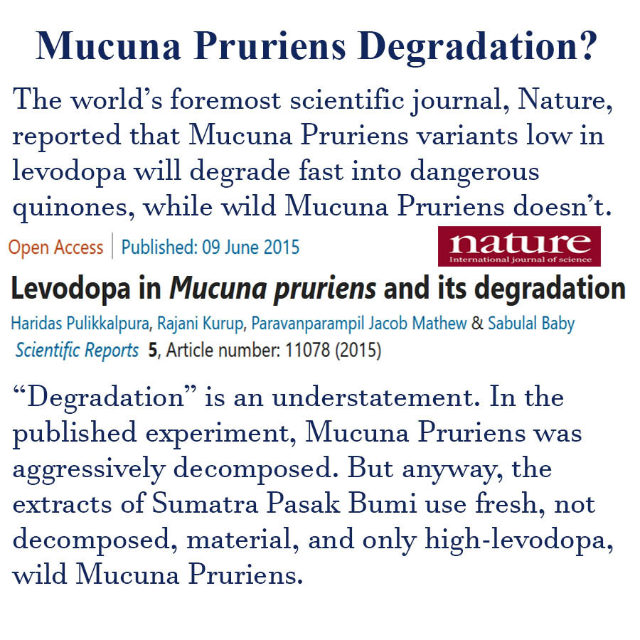 The worlds foremost scientific journal, Nature, reported that Mucuna Pruriens variants low in levodopa will degrade fast into dangerous quinones, while wild Mucuna Pruriens doesnt. Degradation is an understatement. In the published experiment, Mucuna Pruriens was aggressively decomposed. But anyway, the extracts of Sumatra Pasak Bumi use fresh, not decomposed, material, and only high-levodopa, wild Mucuna Pruriens.