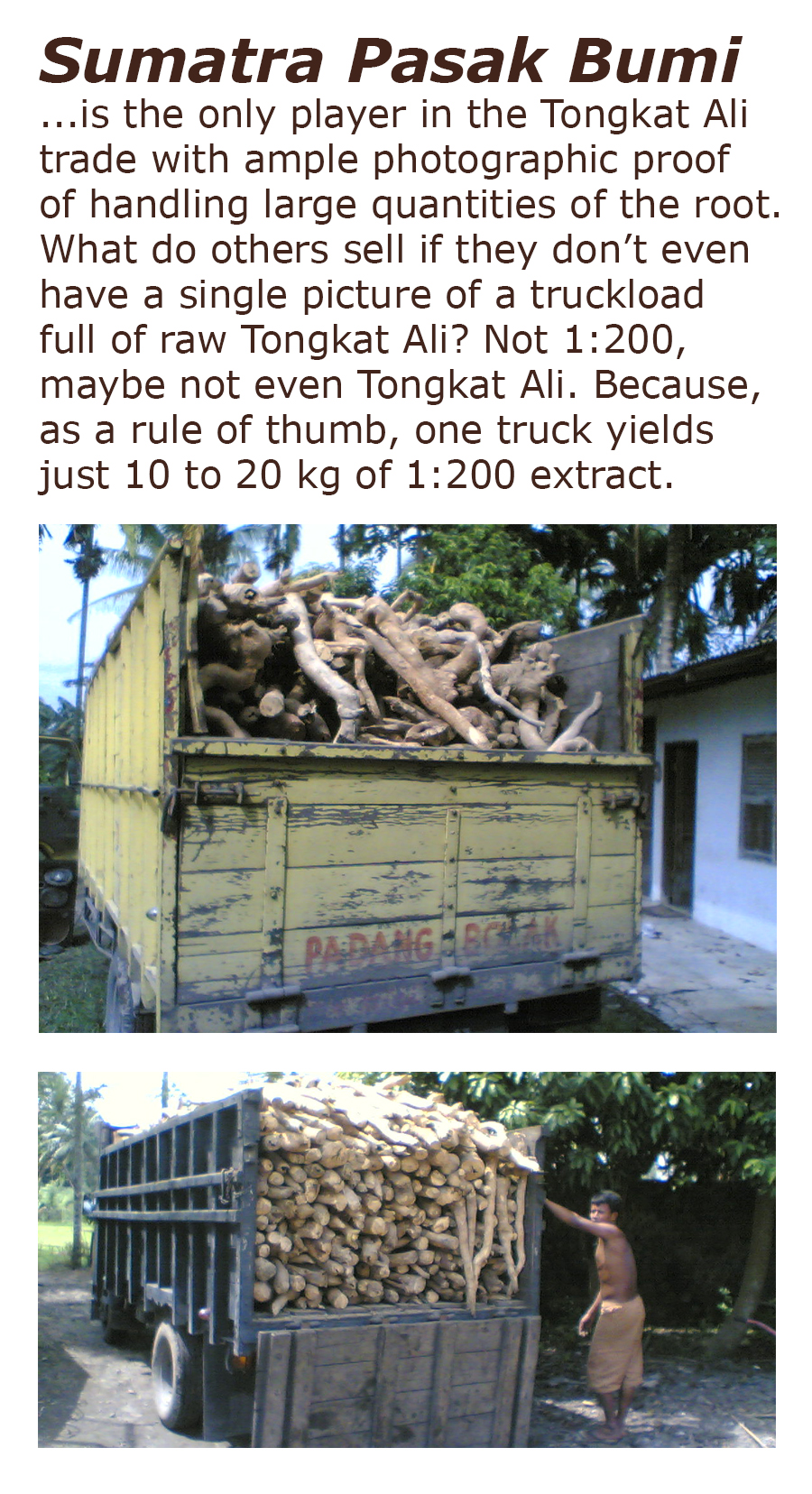 Sumatra Pasak Bumi is the only player in the Tongkat Ali trade with ample photographic proof of handling large quantities of the root. What do others sell if they dont even have a single picture of a truckload full of raw Tongkat Ali? Not 1:200, maybe not even Tongkat Ali. Because, as a rule of thumb, one truck yields just 10 to 20 kg of 1:200 extract.