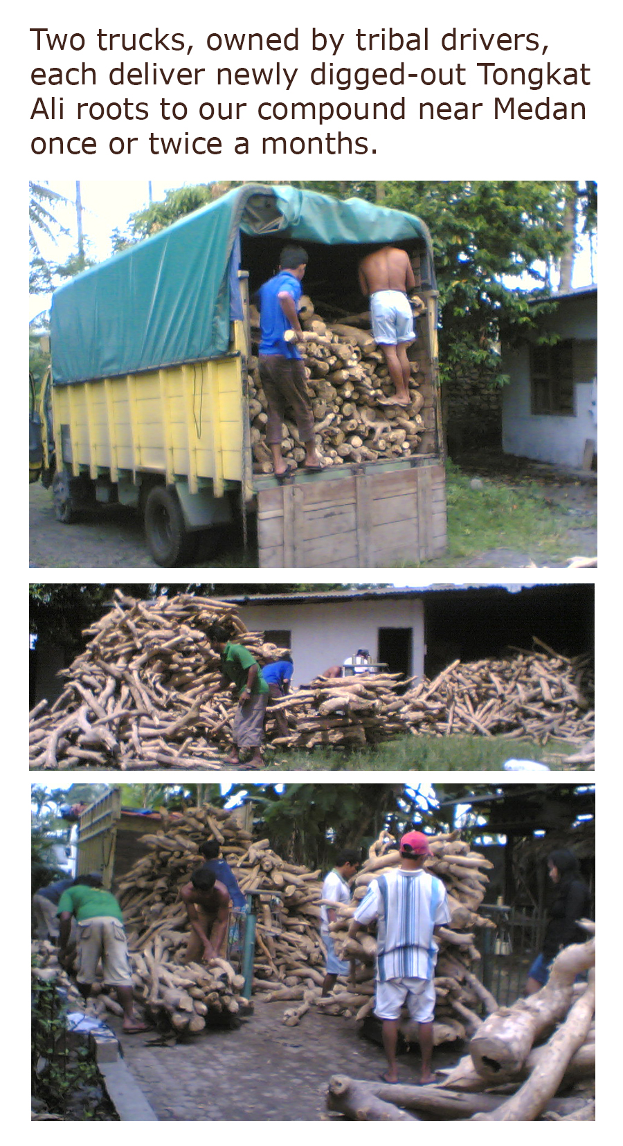 Two truck, owned by tribal drivers, each deliver newly digged-out Tongkat Ali roots to our compound near Medan once or twice a months.